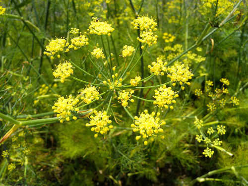 Fenchel flickr @weisserstier